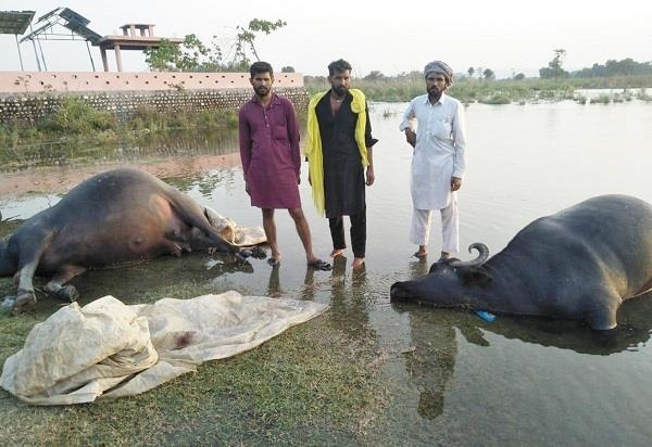 water increases in satluj river