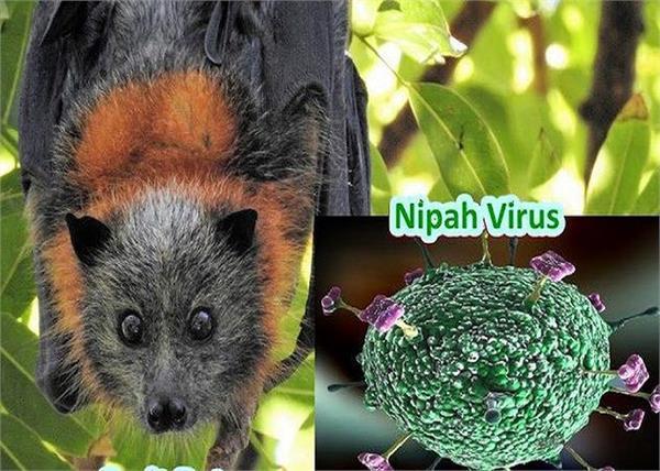 हल्के बुखार और लगातार रहते सिरदर्द को ना करें इग्नोर क्योंकि यह हो सकता है Nipah वायरस