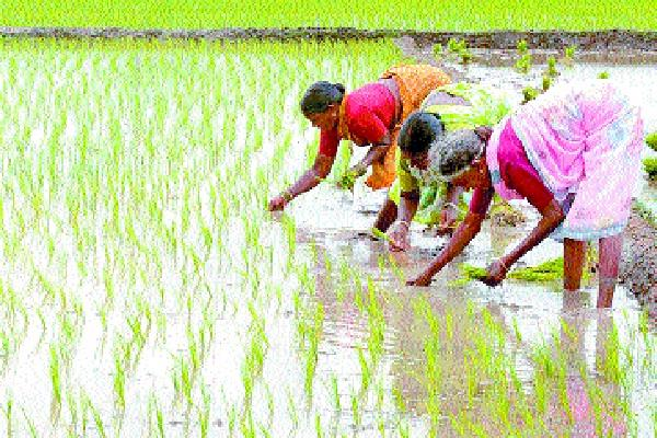 it will be difficult to make paddy in the coming time on panchayat land