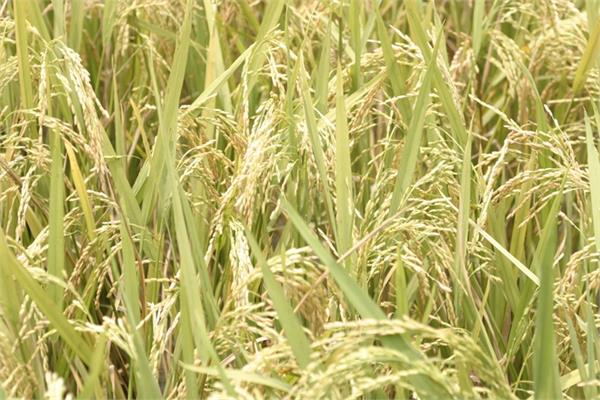 the use of chemical fertilizers for paddy and basmati crops is fatal