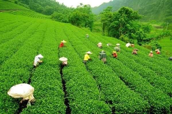 darjeeling tea is cheap but drinking coffee can be costly