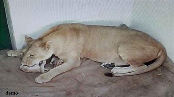the lioness gave 4 sawaks in etawah line safari