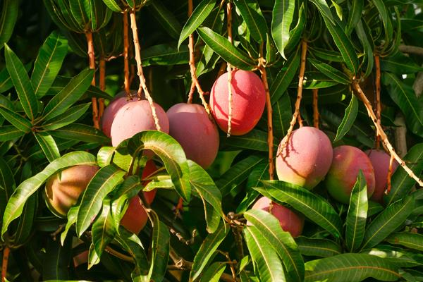 enjoy mango and berries in summer stay healthy