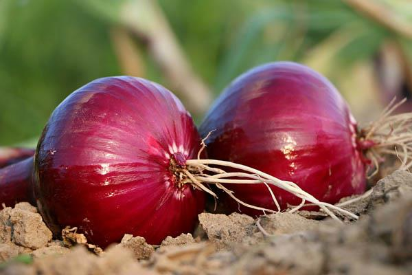 govt creating 50 000 tonne of onion buffer to curb price rise