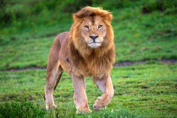 lion safari to be built in haryana