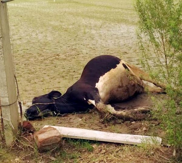 death of cow
