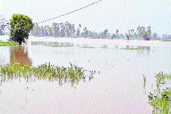 rainwater becomes water trapped paddy crop