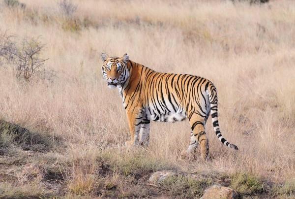 tiger caught a man in sundarvan