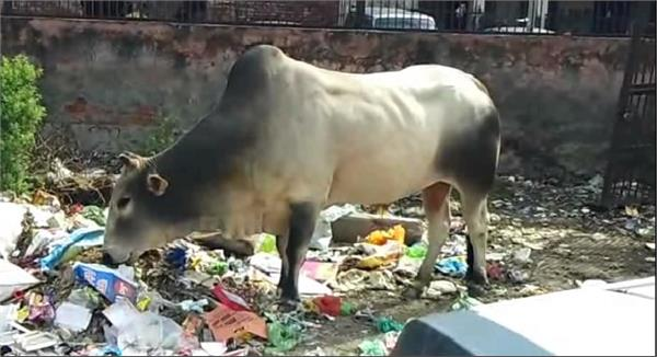 taking the cow dynasty off the streets at minister residence