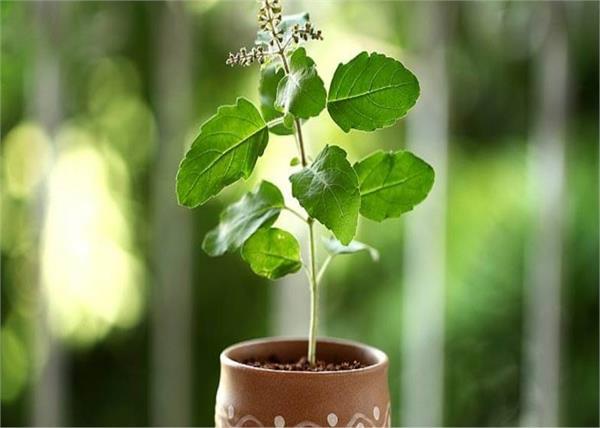 घर में यूं लगाएंगे तुलसी का पौधा तो पीढ़ियों तक रहेगा लक्ष्मी का वास