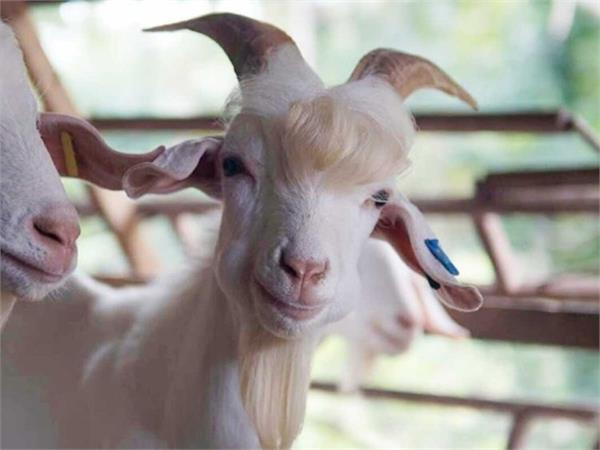 viral handsome goat from malaysia becomes internet sensation