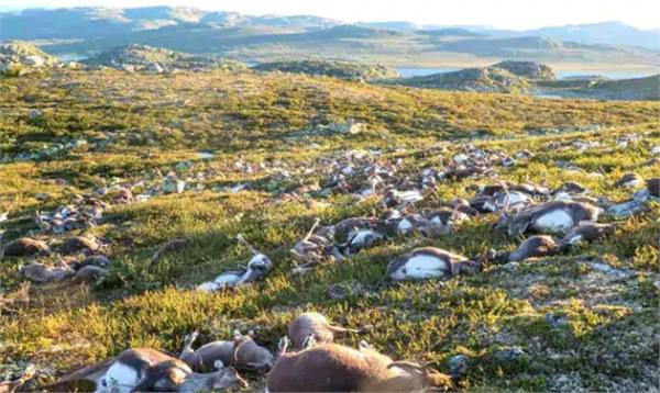 over 200 reindeer found dead in norway