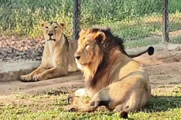 lion yuvraj died at chhatbir zoo