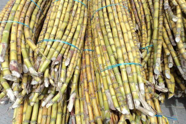 sugarcane farmers money will come directly into account
