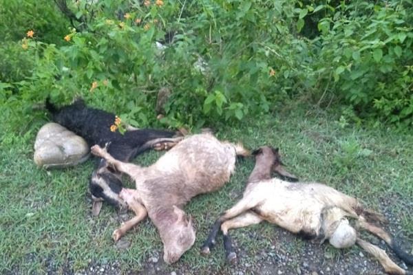 half a dozen goats killed