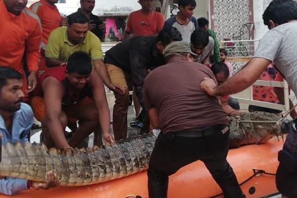 10 foot tall crocodile reached the residential area in vadodara