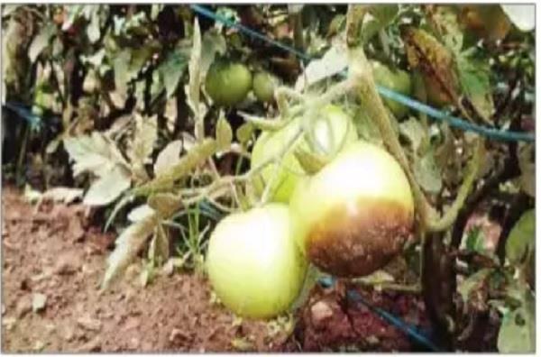 black spots in tomato crop