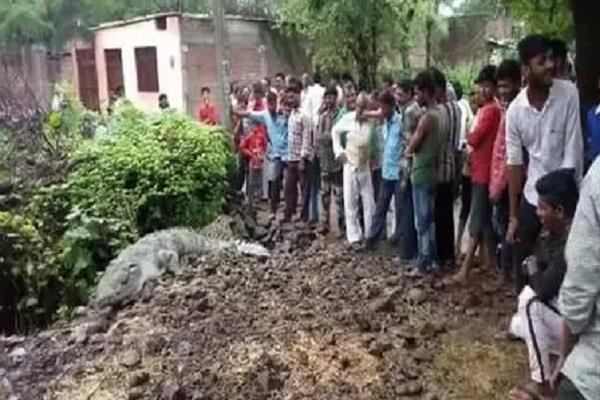 13 feet crocodile village forest department team reached spot
