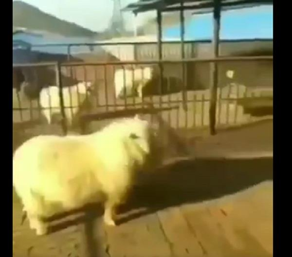 chinese billy goat kick man in kungfu style video viral