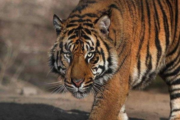 tiger made beat watcher in dhikala zone of corbett park