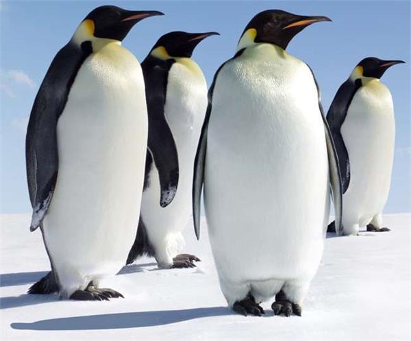to save tiny penguins australian govt adopt suburb idea