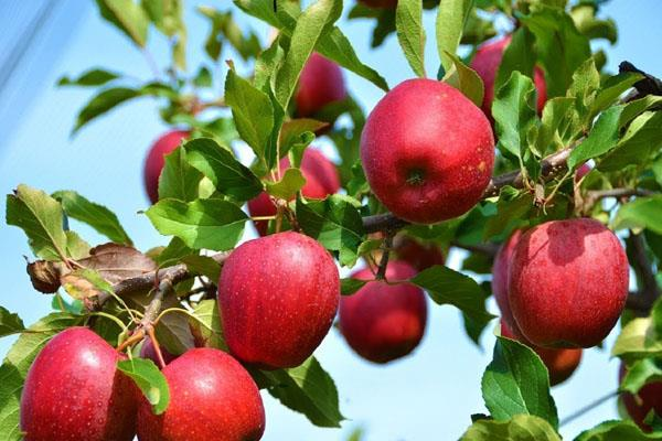 prices of kashmiri fruits may increase trucks are not coming from the valley