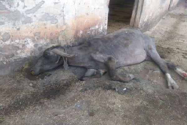 13 buffaloes killed 20 sick due to food poisoning