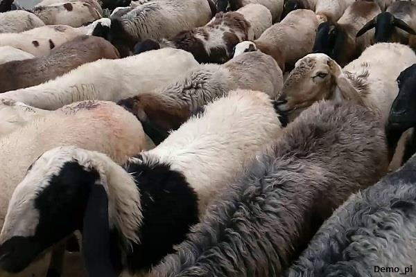 killed the shepherd and robbed 150 sheep