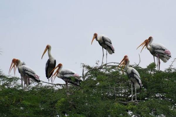 painted stork birds are more intelligent than humans