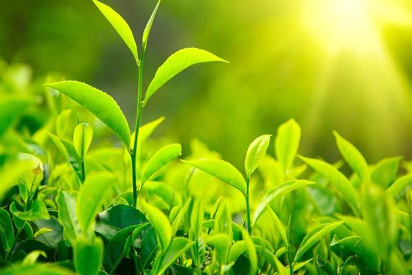 tea board vice president told tea industry not to expect subsidy