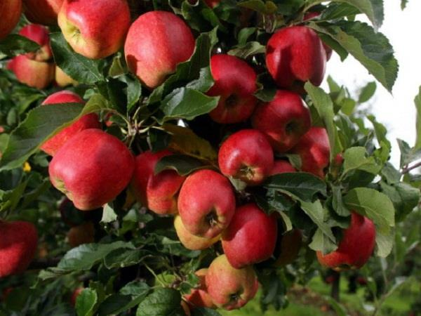 now apple plants will be imported from america not from italy