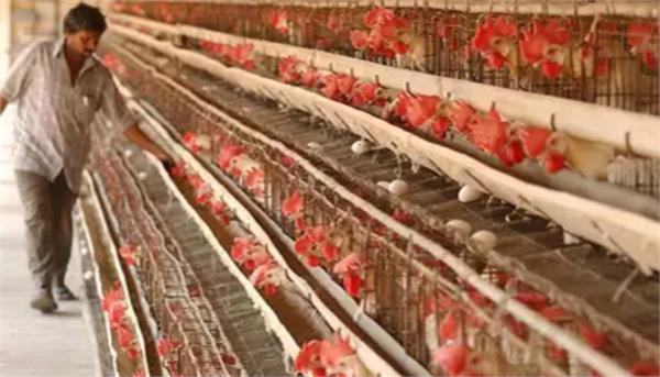 barwala poultry