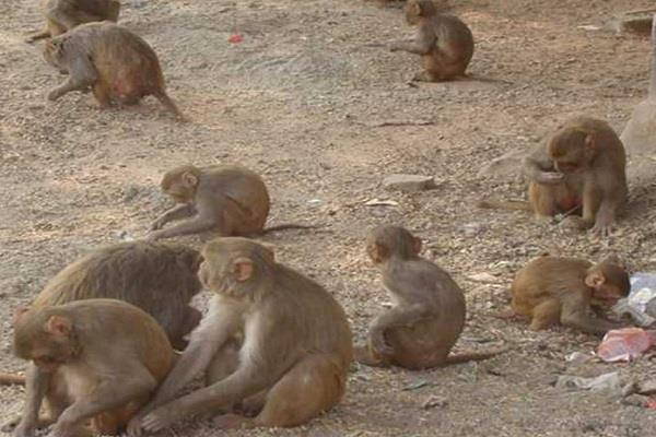 a herd of monkeys attacked the woman injured