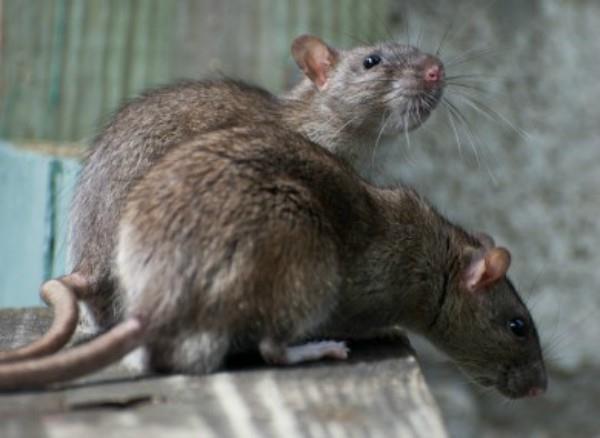 kashmiri leaders upset with rats