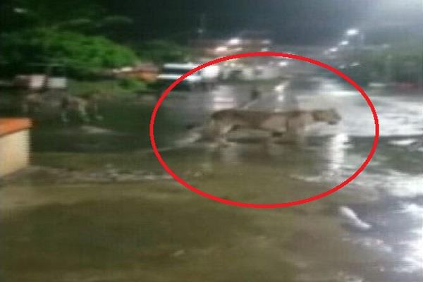 viral video of a pride of lions seen roaming around a city road in junagadh