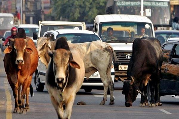 in case of cow smuggling send summons to the witness said be present with cow