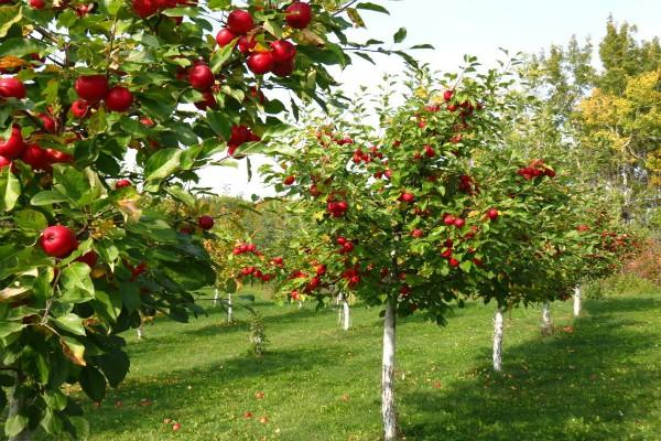 apples rotting in kashmir gardens 35 lakh people are suffering losses