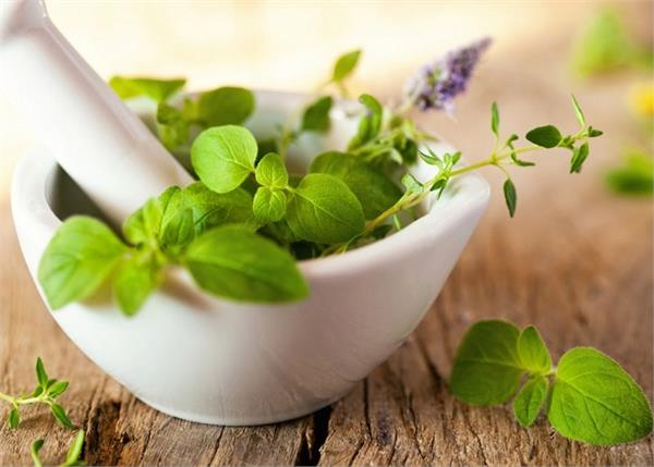 याददाश्त बढ़ाती हैं तुलसी की पत्तियां, बस जान लें इसे खाने का सही तरीका