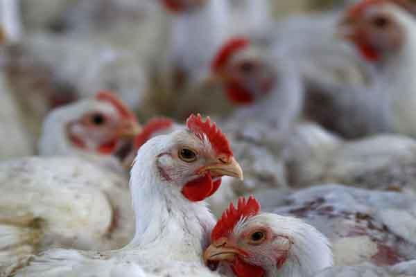 india declared bird flu free 83 lakh birds killed so far