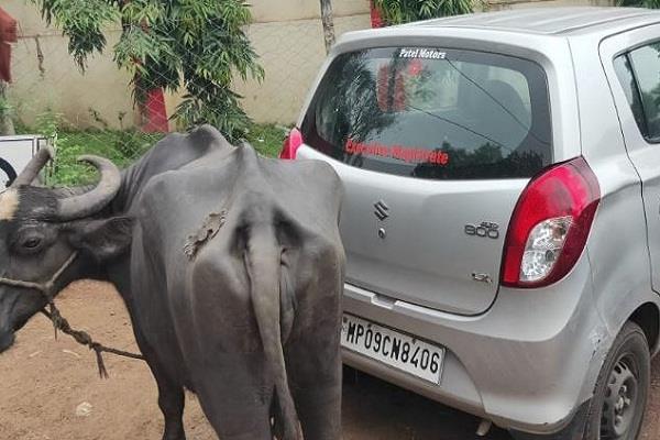 naib tehsildar asked for bribe farmer tied buffalo car no money