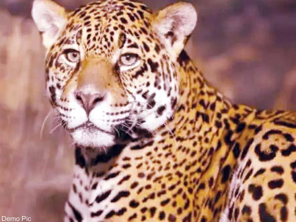leopard attack on eldlery man