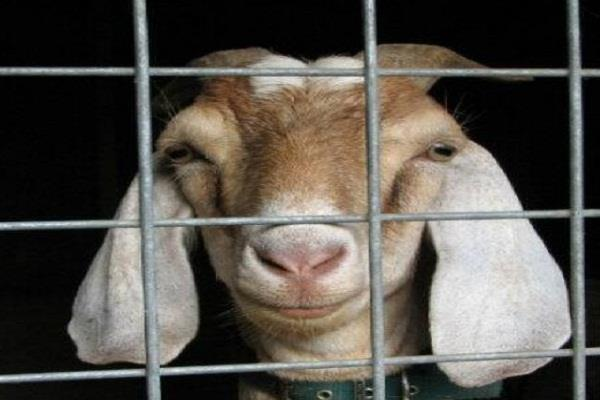 police arrested goat who entered the judge bungalow