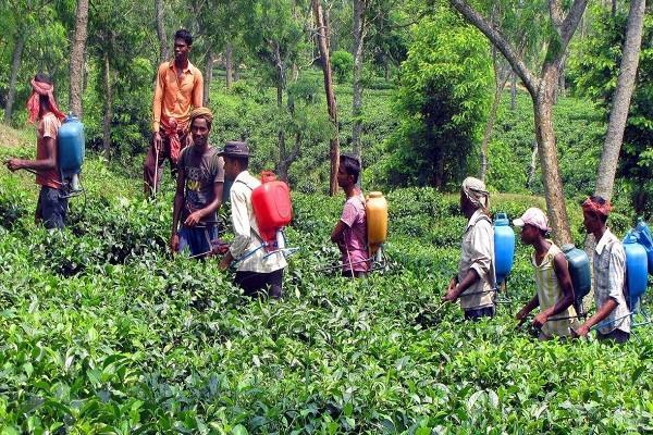 maharashtra 31 people fell ill while spraying pesticide in yavatmal