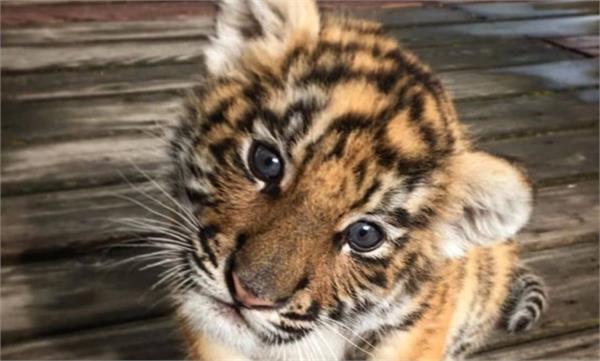 couple trying to buy savannah cat end up with a tiger cub instead