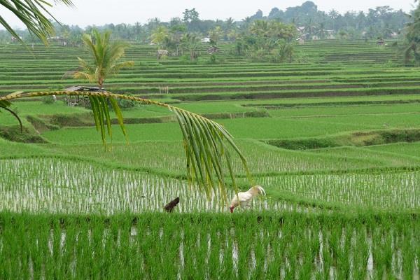 paddy procurement 33 percent in last 12 days