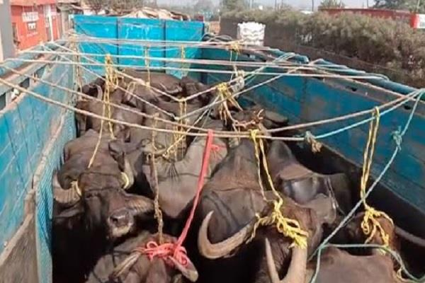 police arrested three cattle smugglers strangled and kept animals