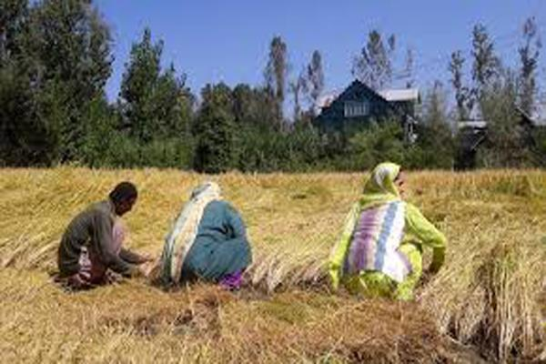 bumper crop of paddy has been done in kashmir even after less rain