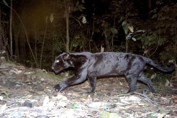 black leopard of extinct species in gwalior