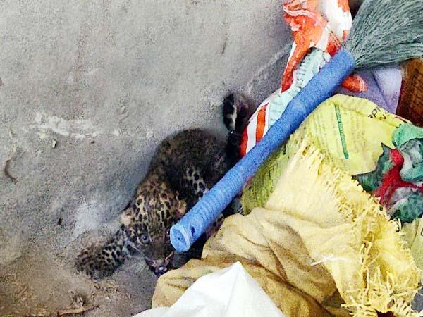 blown sense of people to saw leopard cub