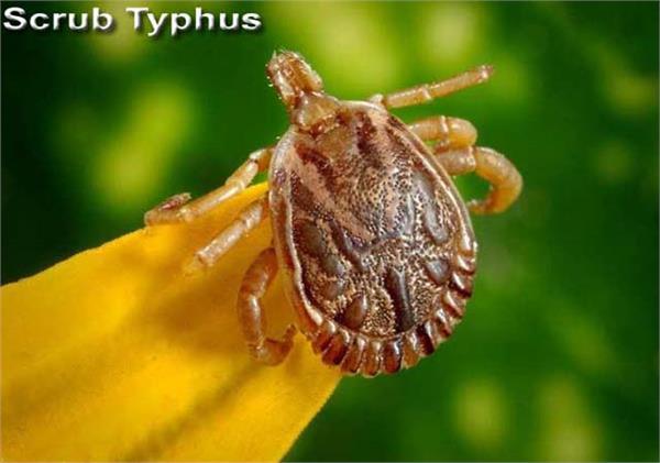 scrub typhus now comes amidst corona epidemic